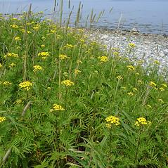 Plant form: Tanacetum vulgare. ~ By Glen Mittelhauser. ~ Copyright © 2019 Glen Mittelhauser. ~ www.mainenaturalhistory.org