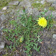 Plant form: Taraxacum laevigatum. ~ By Arthur Haines. ~ Copyright © 2018. ~ arthurhaines[at]wildblue.net