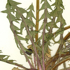 Leaves: Taraxacum laevigatum. ~ By CONN Herbarium. ~ Copyright © 2019 CONN Herbarium. ~ Requests for image use not currently accepted by copyright holder ~ U. of Connecticut Herbarium - bgbaseserver.eeb.uconn.edu/