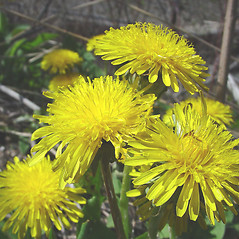 Flowers: Taraxacum officinale. ~ By Glen Mittelhauser. ~ Copyright © 2018 Glen Mittelhauser. ~ www.mainenaturalhistory.org