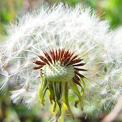 Fruits: Taraxacum officinale. ~ By Arthur Haines. ~ Copyright © 2018. ~ arthurhaines[at]wildblue.net
