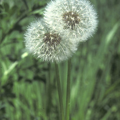 Fruits: Taraxacum officinale. ~ By John Lynch. ~ Copyright © 2017 New England Wild Flower Society. ~ Image Request, images[at]newenglandwild.org