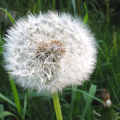 Fruits: Taraxacum officinale. ~ By Marilee Lovit. ~ Copyright © 2018 Marilee Lovit. ~ lovitm[at]gmail.com