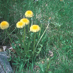 Plant form: Taraxacum officinale. ~ By Lawrence Newcomb. ~ Copyright © 2017 New England Wild Flower Society. ~ Image Request, images[at]newenglandwild.org