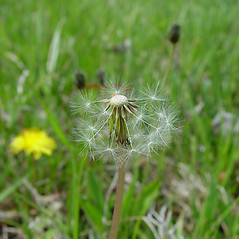 Fruits: Taraxacum palustre. ~ By Arthur Haines. ~ Copyright © 2018. ~ arthurhaines[at]wildblue.net