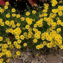 Plant form: Thymophylla tenuiloba. ~ By Paul S. Drobot. ~ Copyright © 2019 Paul S. Drobot. ~ www.plantstogrow.com, www.plantstockphotos.com ~ Robert W. Freckmann Herbarium, U. of Wisconsin-Stevens Point