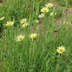 Plant form: Tragopogon dubius. ~ By Eleanor Saulys. ~ Copyright © 2017 Eleanor Saulys. ~ sam.saulys[at]comcast.net ~ Connecticut Botanical Society - www.ct-botanical-society.org/