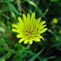 Flowers: Tragopogon pratensis. ~ By Arthur Haines. ~ Copyright © 2020. ~ arthurhaines[at]wildblue.net