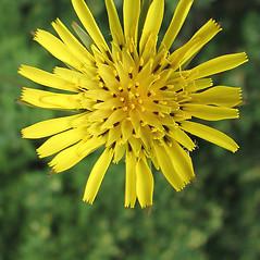 Flowers: Tragopogon pratensis. ~ By Marilee Lovit. ~ Copyright © 2019 Marilee Lovit. ~ lovitm[at]gmail.com