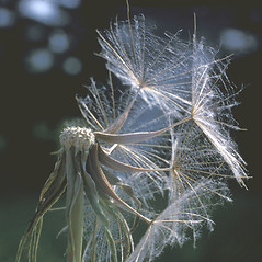 Fruits: Tragopogon pratensis. ~ By Frank Bramley. ~ Copyright © 2019 New England Wild Flower Society. ~ Image Request, images[at]newenglandwild.org