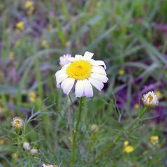 Flowers: Tripleurospermum inodorum. ~ By Arthur Haines. ~ Copyright © 2018. ~ arthurhaines[at]wildblue.net