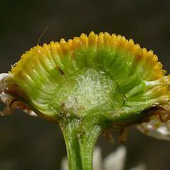 Fruits: Tripleurospermum inodorum. ~ By Ben Legler. ~ Copyright © 2018 Ben Legler. ~ mountainmarmot[at]hotmail.com ~ U. of Washington - WTU - Herbarium - biology.burke.washington.edu/herbarium/imagecollection.php