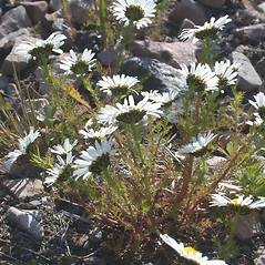 Plant form: Tripleurospermum maritimum. ~ By Mary Ellen Harte. ~ Copyright © 2019 CC BY-NC 3.0. ~  ~ Bugwood - www.bugwood.org/