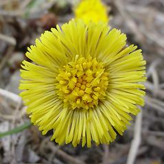 Flowers: Tussilago farfara. ~ By Glen Mittelhauser. ~ Copyright © 2018 Glen Mittelhauser. ~ www.mainenaturalhistory.org