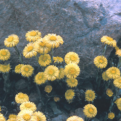 Plant form: Tussilago farfara. ~ By Frank Bramley. ~ Copyright © 2019 New England Wild Flower Society. ~ Image Request, images[at]newenglandwild.org