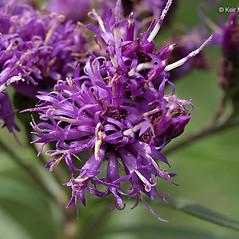 Flowers: Vernonia fasciculata. ~ By Keir Morse. ~ Copyright © 2017 Keir Morse. ~ www.keiriosity.com ~ www.keiriosity.com