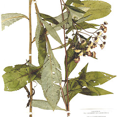 Plant form: Vernonia glauca. ~ By CONN Herbarium. ~ Copyright © 2019 CONN Herbarium. ~ Requests for image use not currently accepted by copyright holder ~ U. of Connecticut Herbarium - bgbaseserver.eeb.uconn.edu/