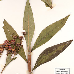Leaves: Vernonia missurica. ~ By University of Massachusetts Herbarium (MASS). ~ Copyright © 2020 University of Massachusetts Herbarium. ~ University of Massachusetts Herbarium ~ U. of Massachusetts Herbarium