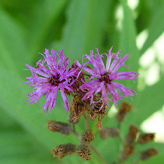 Flowers: Vernonia noveboracensis. ~ By Arthur Haines. ~ Copyright © 2018. ~ arthurhaines[at]wildblue.net