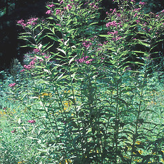 Plant form: Vernonia noveboracensis. ~ By John Lynch. ~ Copyright © 2018 New England Wild Flower Society. ~ Image Request, images[at]newenglandwild.org