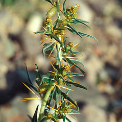Plant form: Xanthium spinosum. ~ By John Randall. ~ Copyright © 2018 CC BY-NC 3.0. ~  ~ Bugwood - www.bugwood.org/