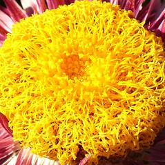 Flowers: Xerochrysum bracteatum. ~ By Neelix. ~  Public Domain. ~  ~ www.wikimedia.org/wikipedia/commons/thumb/e/e9/Xerochrysum_bracteatum.jpg/