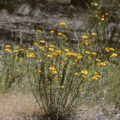 Plant form: Xerochrysum bracteatum. ~ By Richard A. Howard. ~ Copyright © 2019 Richard A. Howard Image Collection, courtesy of the Smithsonian Institution . ~ For permission and usage agreements: http://botany.si.edu/PlantImages ~ Courtesy of Smithsonian Institution, National Museum of Natural History, Department of Botany, Plant Image Collection; botany.si.edu/PlantImages/