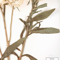 Leaves: Xerochrysum bracteatum. ~ By University of Massachusetts Herbarium (MASS). ~ Copyright © 2019 University of Massachusetts Herbarium. ~ University of Massachusetts Herbarium ~ U. of Massachusetts Herbarium