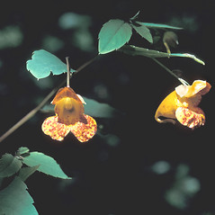 Flowers: Impatiens capensis. ~ By Adelaide Pratt. ~ Copyright © 2018 New England Wild Flower Society. ~ Image Request, images[at]newenglandwild.org
