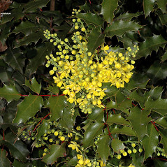 Flowers: Berberis aquifolium. ~ By Gerry Carr. ~ Copyright © 2020 Gerry Carr. ~ gdcarr[at]comcast.net ~ Oregon Flora Image Project - www.botany.hawaii.edu/faculty/carr/ofp/ofp_index.htm