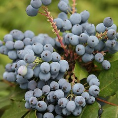 Fruits: Berberis aquifolium. ~ By Robert Vid_ki. ~ Copyright © 2017 CC BY-NC 3.0. ~  ~ Bugwood - www.bugwood.org/