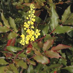 Leaves: Berberis aquifolium. ~ By Gerry Carr. ~ Copyright © 2017 Gerry Carr. ~ gdcarr[at]comcast.net ~ Oregon Flora Image Project - www.botany.hawaii.edu/faculty/carr/ofp/ofp_index.htm