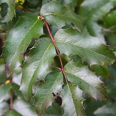 Leaves: Berberis aquifolium. ~ By Robert Vid_ki. ~ Copyright © 2017 CC BY-NC 3.0. ~  ~ Bugwood - www.bugwood.org/