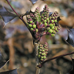 Winter buds: Berberis aquifolium. ~ By Bruce Patterson. ~ Copyright © 2017 Bruce Patterson. ~ foxpatterson[at]comcast.net