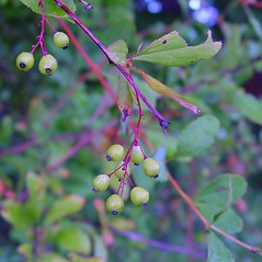 Fruits: Berberis koreana. ~ By Arthur Haines. ~ Copyright © 2017. ~ arthurhaines[at]wildblue.net