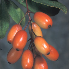 Fruits: Berberis vulgaris. ~ By Adelaide Pratt. ~ Copyright © 2019 New England Wild Flower Society. ~ Image Request, images[at]newenglandwild.org