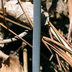 Stems: Caulophyllum thalictroides. ~ By Keir Morse. ~ Copyright © 2017 Keir Morse. ~ www.keiriosity.com ~ www.keiriosity.com