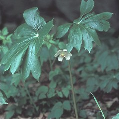Plant form: Podophyllum peltatum. ~ By Mary Walker. ~ Copyright © 2020 New England Wild Flower Society. ~ Image Request, images[at]newenglandwild.org