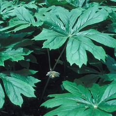 Leaves: Podophyllum peltatum. ~ By John Lynch. ~ Copyright © 2020 New England Wild Flower Society. ~ Image Request, images[at]newenglandwild.org