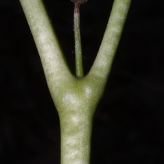 Stems: Podophyllum peltatum. ~ By Steven Baskauf. ~ Copyright © 2019 CC-BY-NC-SA. ~  ~ Bioimages - www.cas.vanderbilt.edu/bioimages/frame.htm