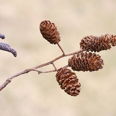 Fruits: Alnus glutinosa. ~ By Arieh Tal. ~ Copyright © 2018 Arieh Tal. ~ http://botphoto.com/ ~ Arieh Tal - botphoto.com