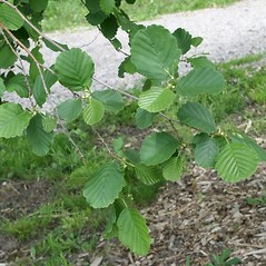 Leaves: Alnus glutinosa. ~ By Arieh Tal. ~ Copyright © 2020 Arieh Tal. ~ http://botphoto.com/ ~ Arieh Tal - botphoto.com