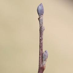 Winter buds: Alnus glutinosa. ~ By Arieh Tal. ~ Copyright © 2020 Arieh Tal. ~ http://botphoto.com/ ~ Arieh Tal - botphoto.com