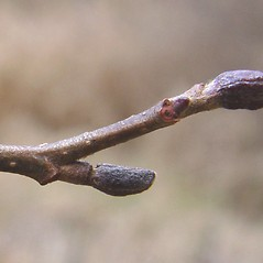 Winter buds: Alnus incana. ~ By Donald Cameron. ~ Copyright © 2019 Donald Cameron. ~ No permission needed for non-commercial uses, with proper credit