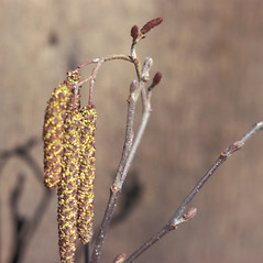 Flowers: Alnus serrulata. ~ By Jean Baxter. ~ Copyright © 2017 New England Wild Flower Society. ~ Image Request, images[at]newenglandwild.org