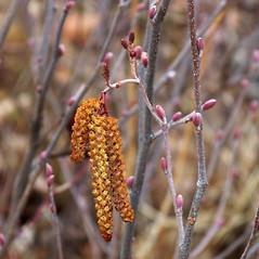 Winter buds: Alnus serrulata. ~ By Alexey Zinovjev. ~ Copyright © 2019. ~ webmaster[at]salicicola.com ~ Salicicola - www.salicicola.com/