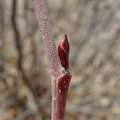 Winter buds: Alnus viridis. ~ By Arthur Haines. ~ Copyright © 2019. ~ arthurhaines[at]wildblue.net