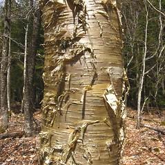 Bark: Betula alleghaniensis. ~ By Donna Kausen. ~ Copyright © 2019 Donna Kausen. ~ 33 Bears Den, Addison, ME 04606