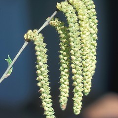 Flowers: Betula alleghaniensis. ~ By Ray Angelo. ~ Copyright © 2019 New England Wild Flower Society. ~ Image Request, images[at]newenglandwild.org