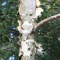 Bark: Betula cordifolia. ~ By Arieh Tal. ~ Copyright © 2017 Arieh Tal. ~ http://botphoto.com/ ~ Arieh Tal - botphoto.com